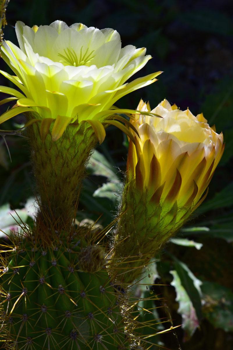 Hybrid Torch Cactus  -  Arizona-Sonora Desert Museum, Arizona