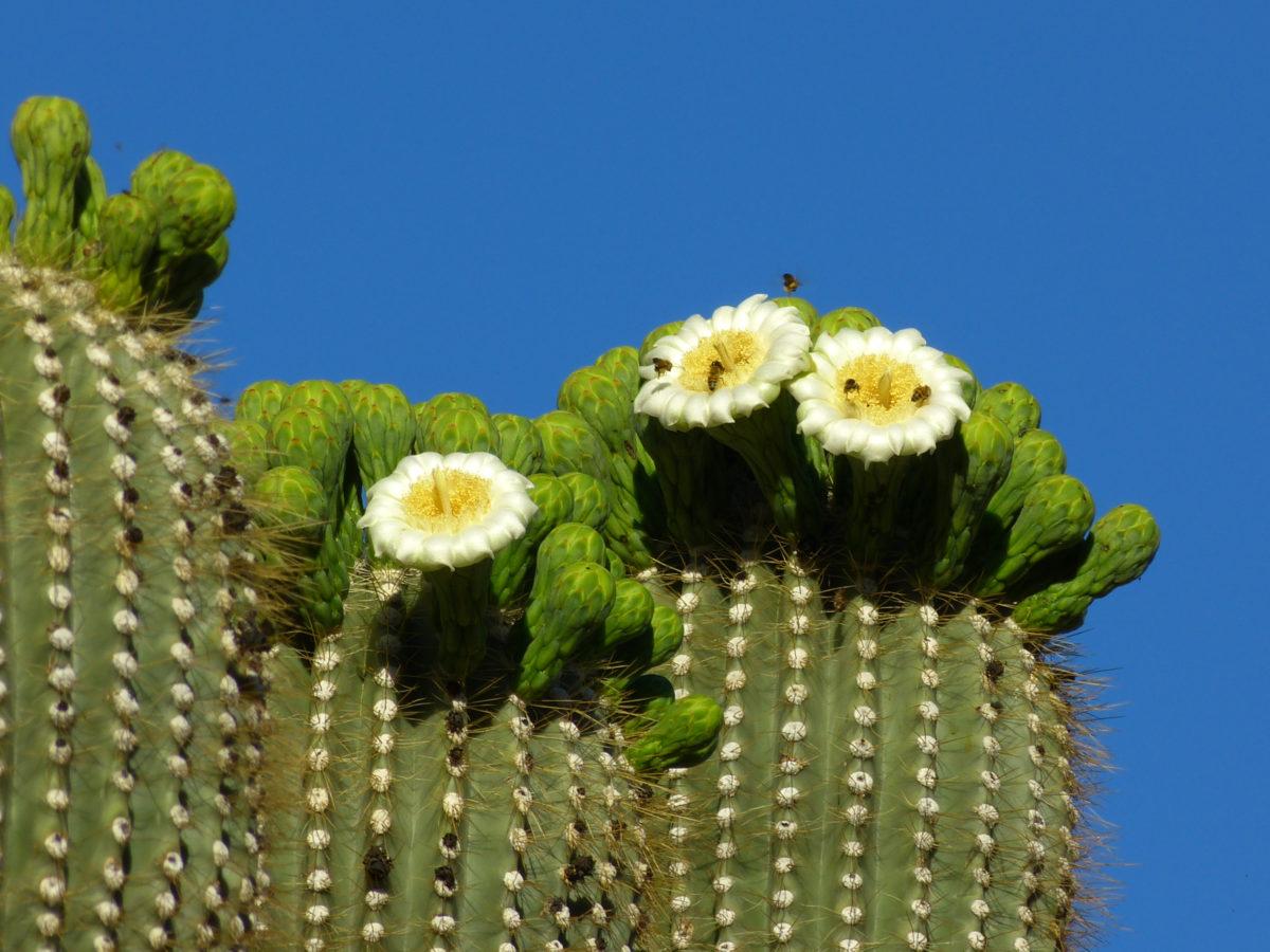 Saguaro Cactus Blooms  -  Saguaro Trail  -  McDowell Sonoran Preserve  -  Scottsdale, Arizona