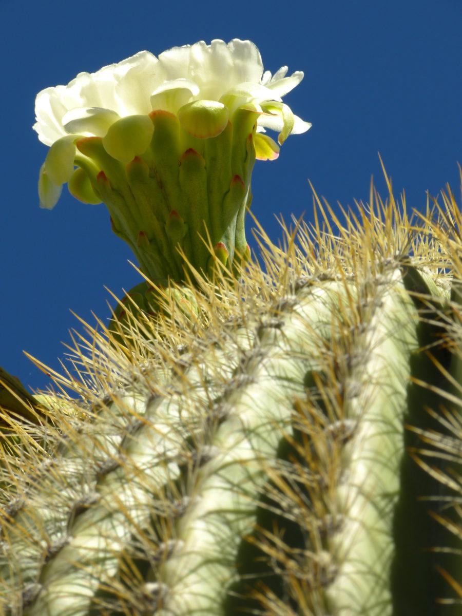 Saguaro Cactus Bloom  -  Arizona-Sonora Desert Museum, Arizona