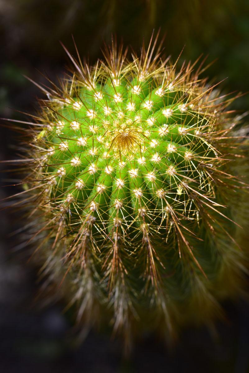 Echinopsis huascha  -  Boyce Thompson Arboretum State Park, Arizona