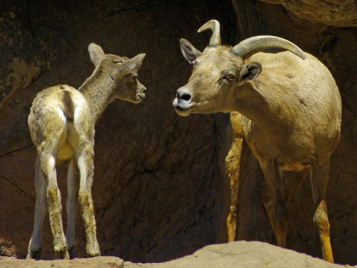 Bighorn Sheep: Ewe with less-than-2-hour-old Lamb  -  Arizona-Sonora Desert Museum, Arizona