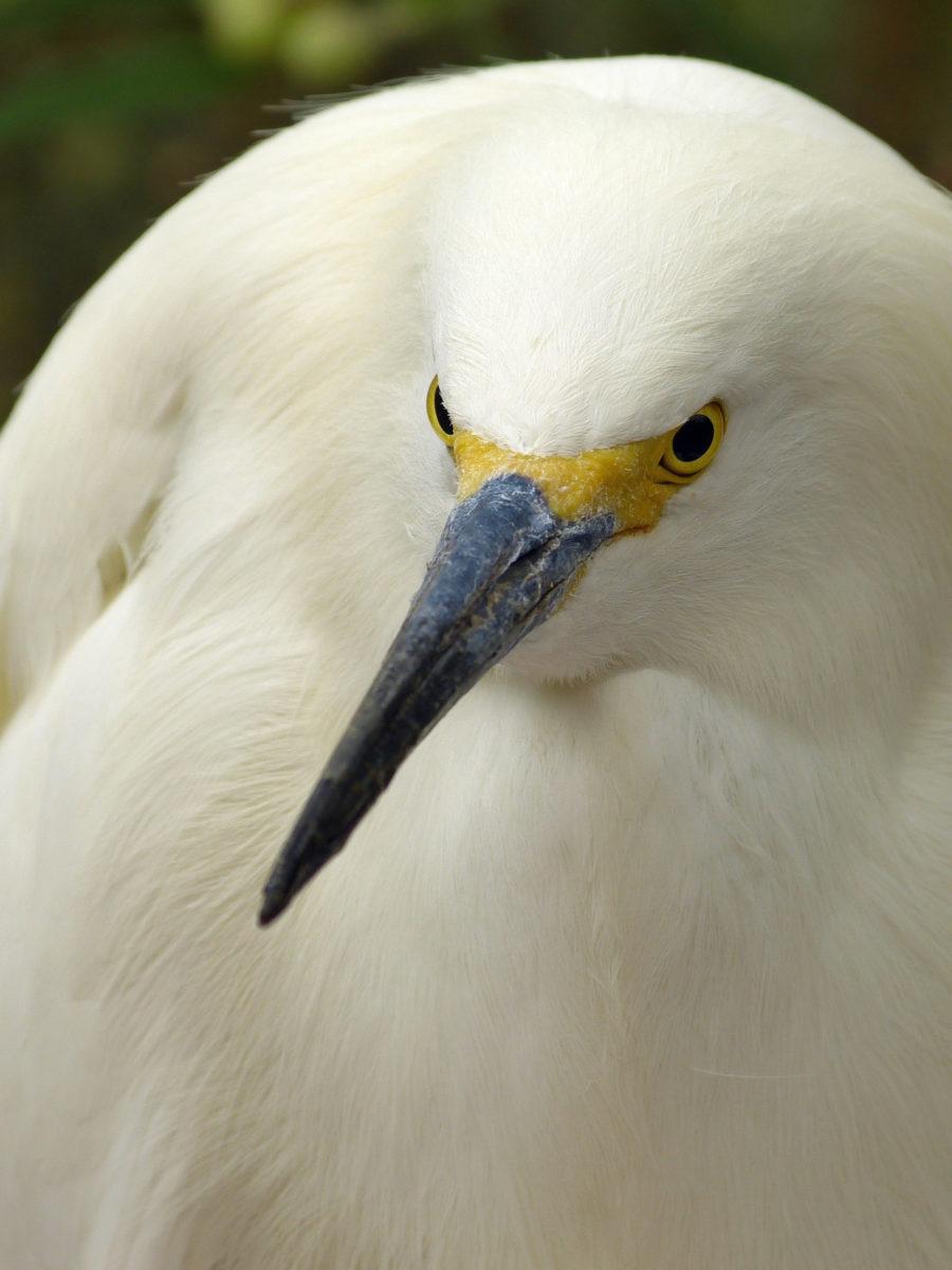 Snowy Egret  -  Phoenix Zoo  -  Phoenix, Arizona