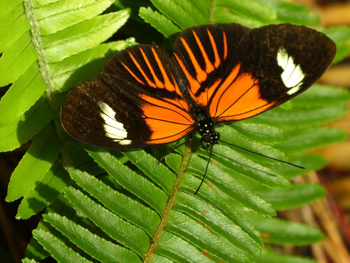 Doris Longwing Butterfly  -  Butterfly Wonderland  -  Scottsdale, Arizona