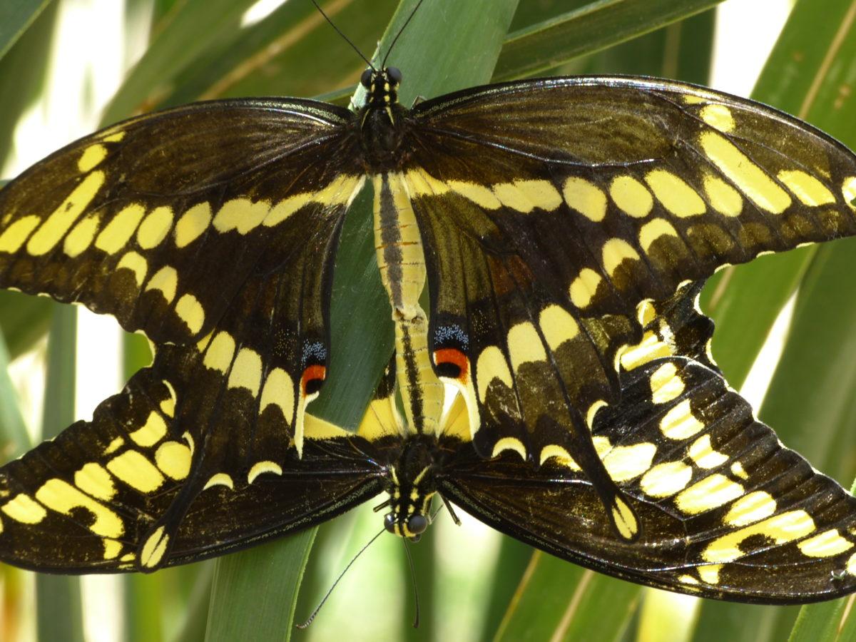 Giant Swallowtail Butterflies mating  -  Desert Botanical Garden  -  Phoenix, Arizona