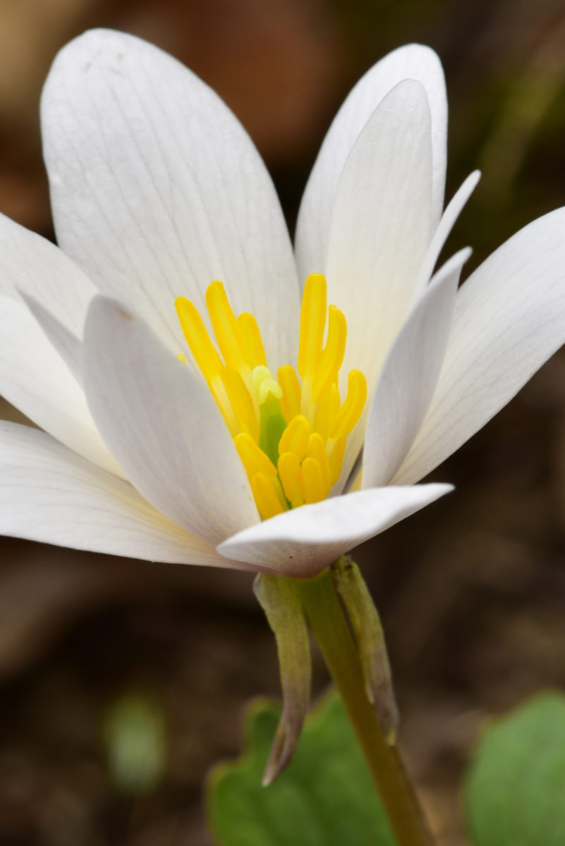 Bloodroot  -  Talking Trees Trail  -  Holmes Educational State Forest, North Carolina
