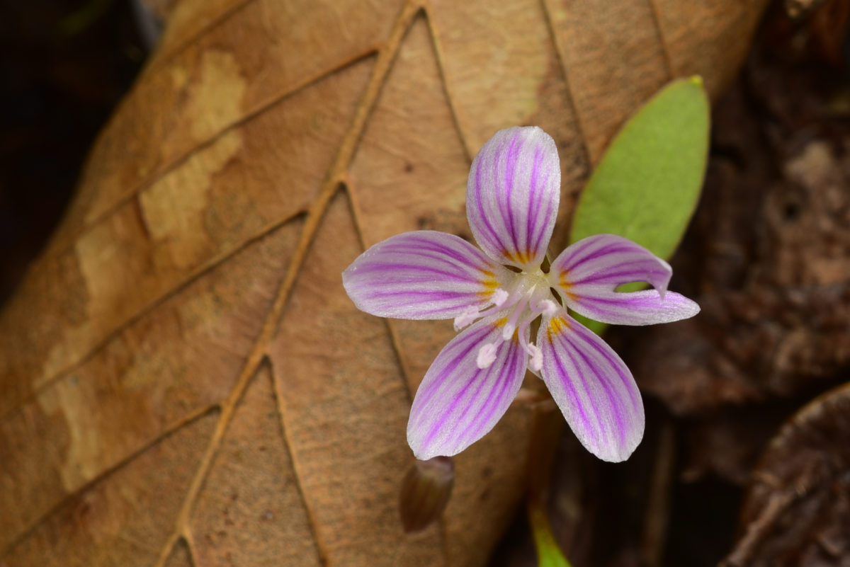 Spring Beauty  -  Talking Tree Trail  -  Holmes Educational State Forest, North Carolina