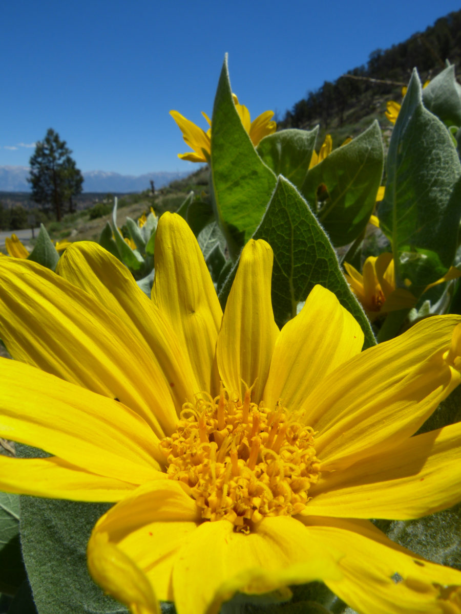 Woolly Mule Ears  -   Inyo National Forest, California