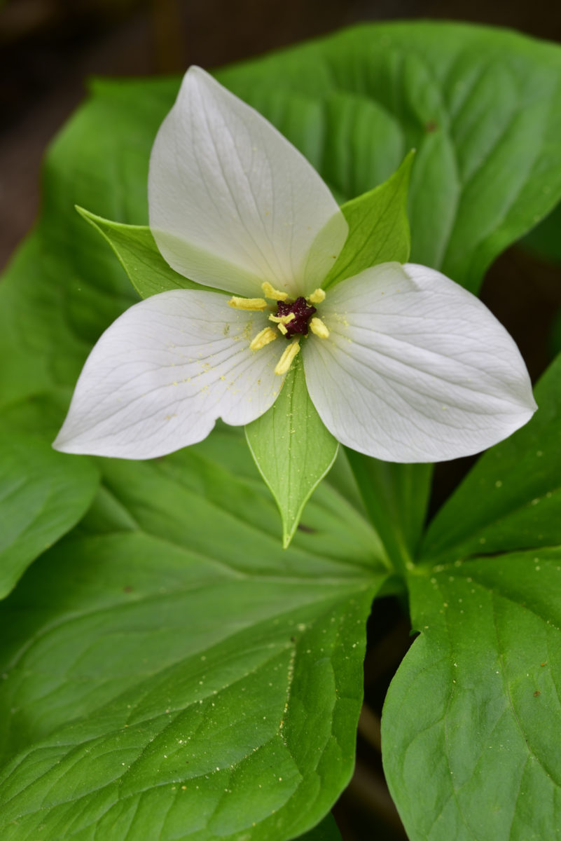Sweet White Trillium  -  Childers Tract  -  Pacolet Area Conservancy, North Carolina