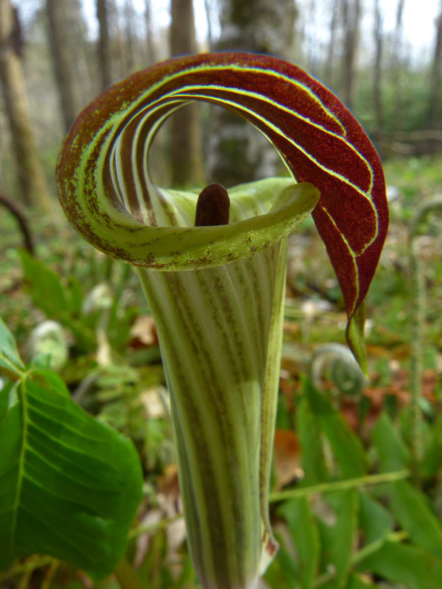 Jack-in-the-Pulpit  -  Holmes Educational State Forest, North Carolina
