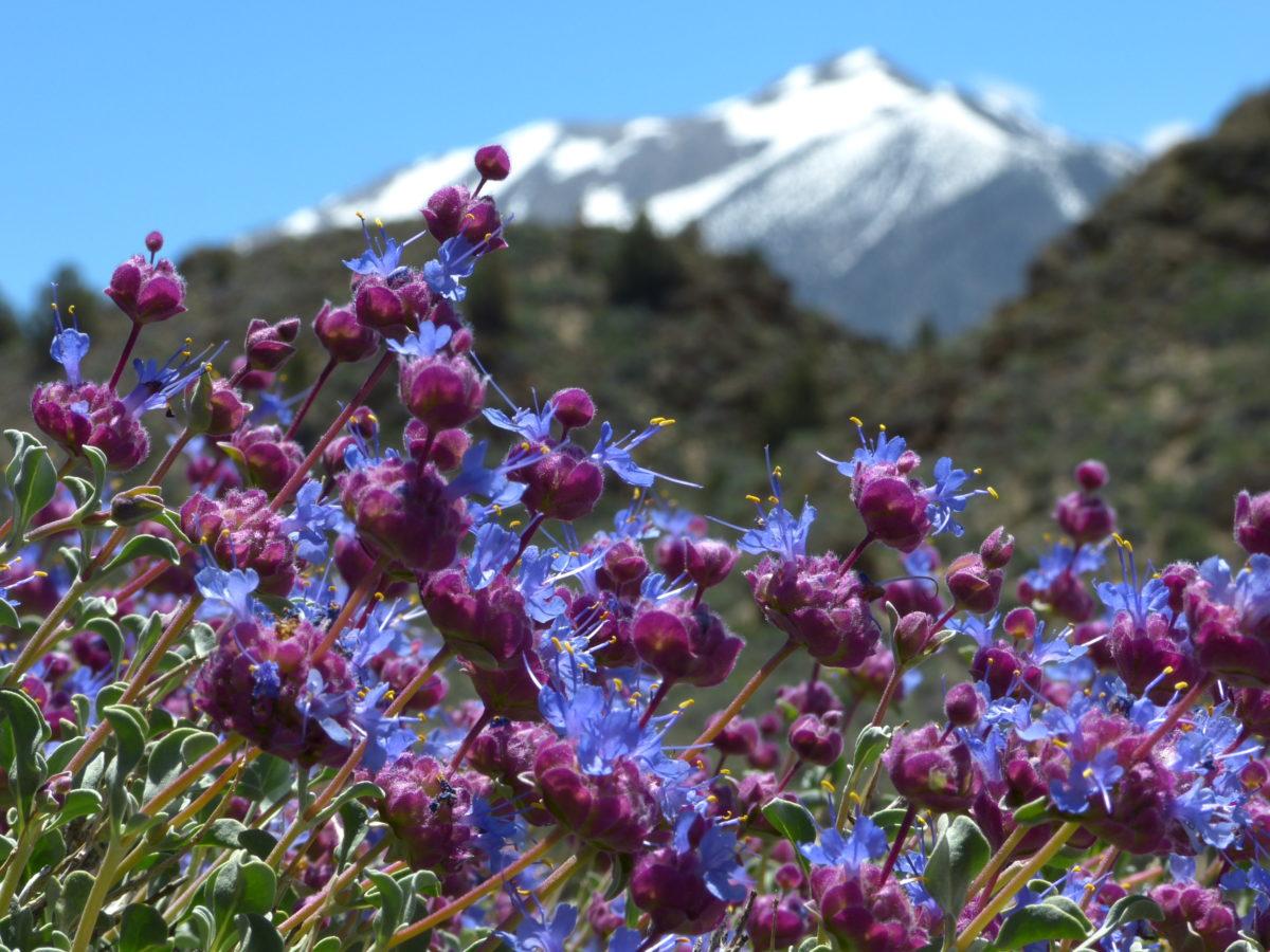Wildflowers, Eastern Sierra Nevada  -  Owens Gorge Road  -   Mono County, California