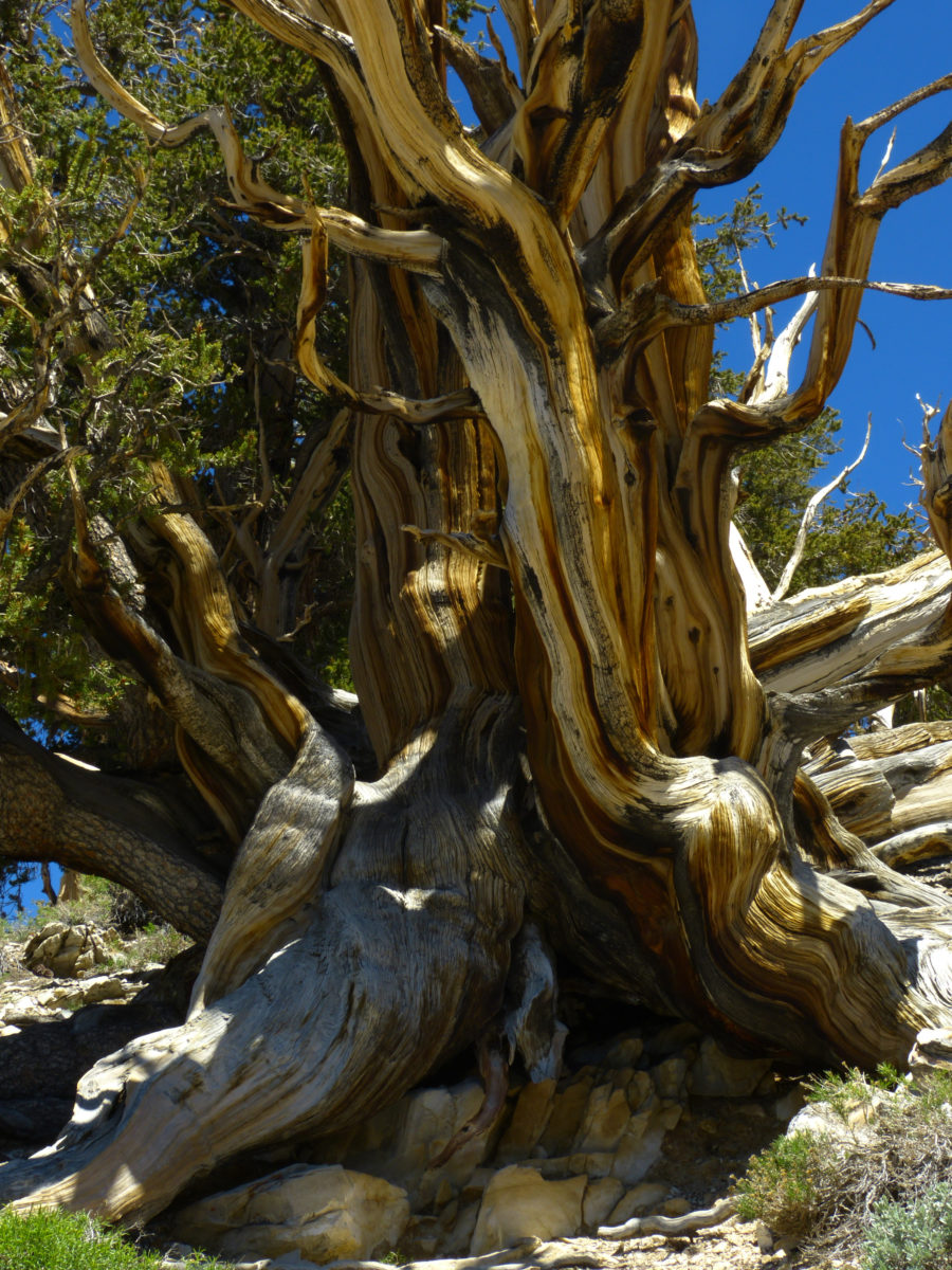 Bristlecone Pine tree  -  Discovery Trail  -  Ancient Bristlecone Pine Forest, California