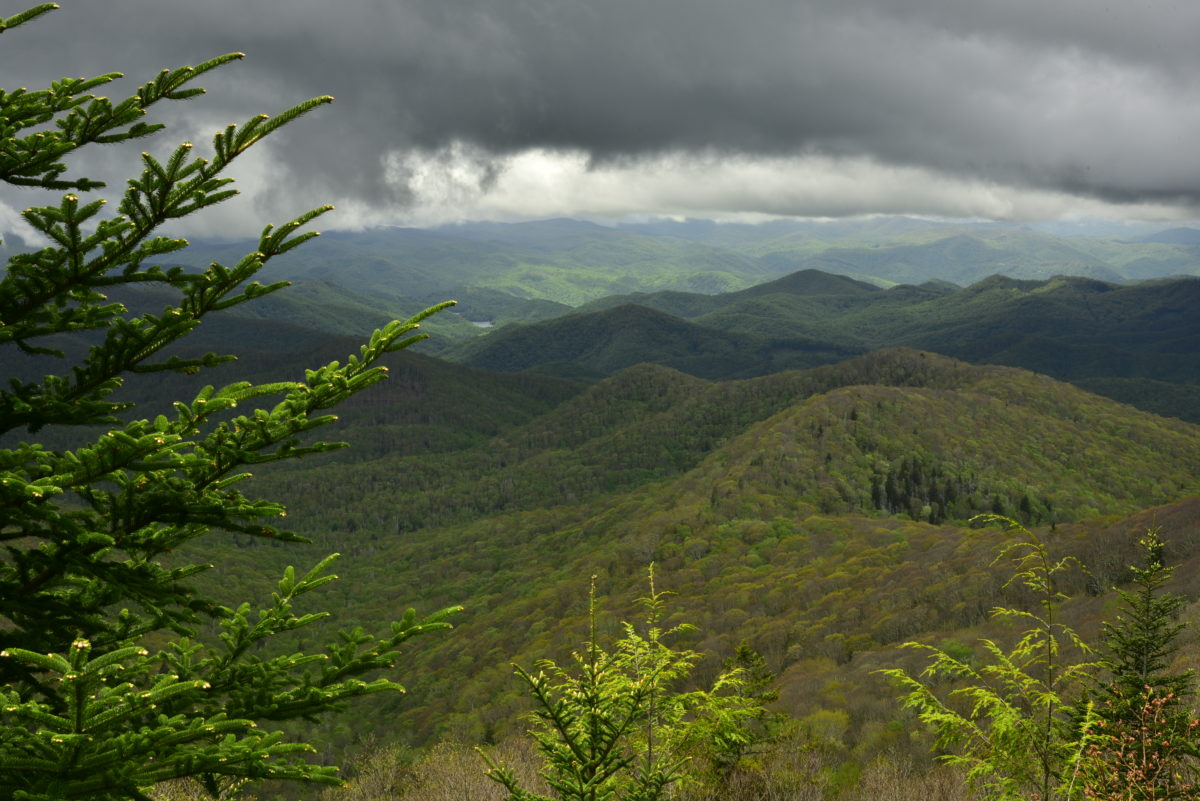 Sunlit conifer and low clouds  -  Wolf Mountain Overlook  -  Blue Ridge Parkway, North Carolina