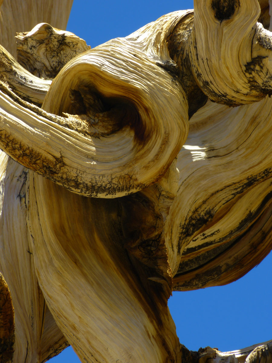 Bristlecone Pine detail  -  Discovery Trail  -  Ancient Bristlecone Pine Forest, California