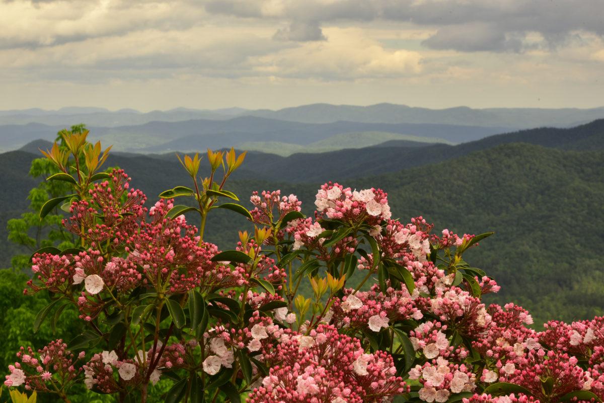 Mountain laurel and mountain ridges  -  Approx MM 411.8  -  Blue Ridge Parkway, North Carolina