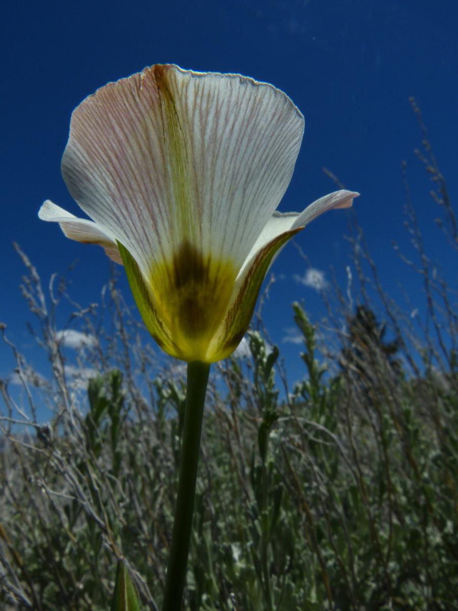 Mariposa Lily  -  Parker Lake Trail  -  June Lake Loop Road  -  Inyo National Forest, California