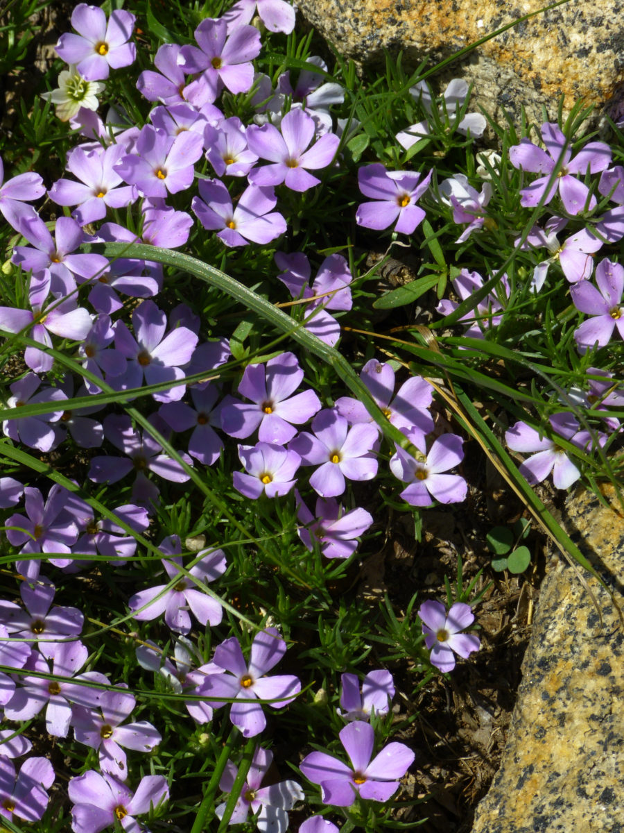 Phlox  -  Donner Summit Bridge Area  -  Highway 40 Scenic Bypass  -  Nevada County, California