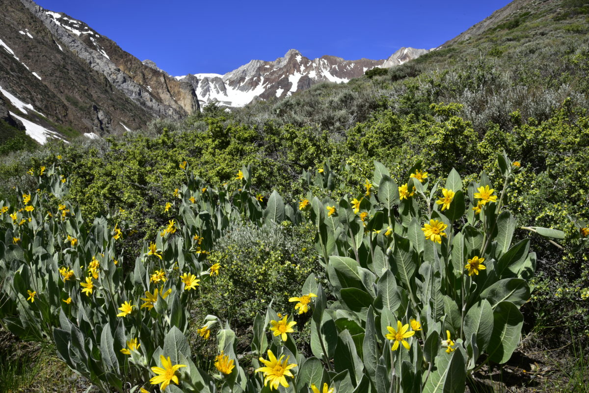 Woolly mule ears  -  McGee Creek Road  -  Inyo National Forest, California