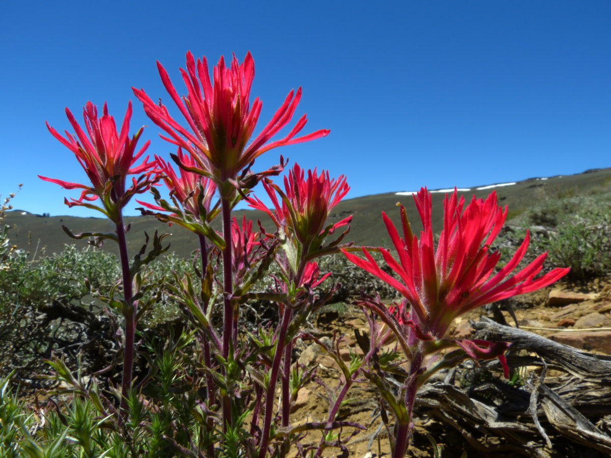 Desert Paintbrush  -  Discovery Trail  -  Ancient Bristlecone Pine Forest, California