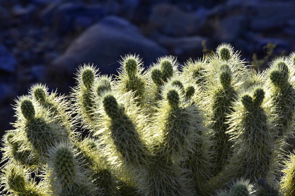 Backlit Teddy Bear cholla cactus -  Bajada Loop Trail, McDowell Sonoran Preserve  -  Scottsdale, Arizona