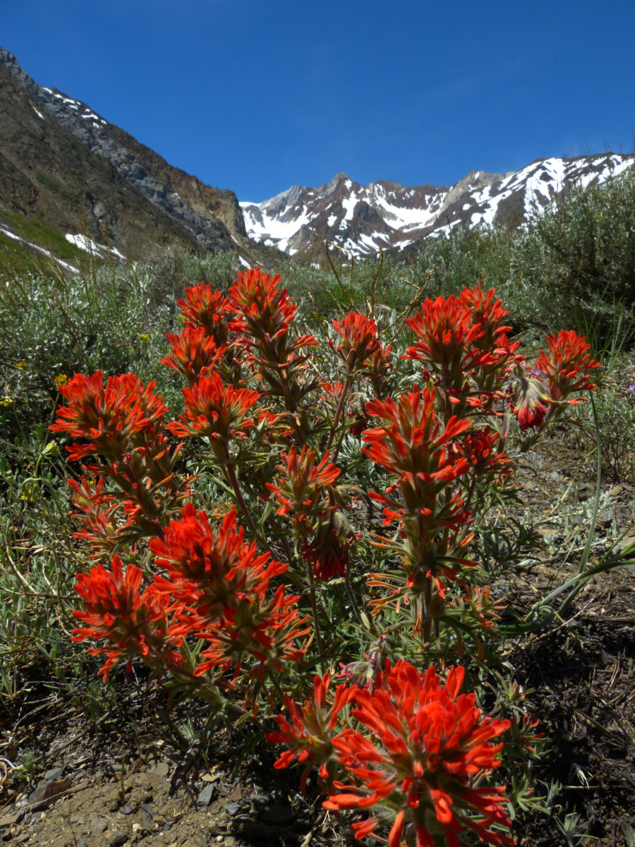 Desert Paintbrush  -  McGee Creek Trail  -  Inyo National Forest, California